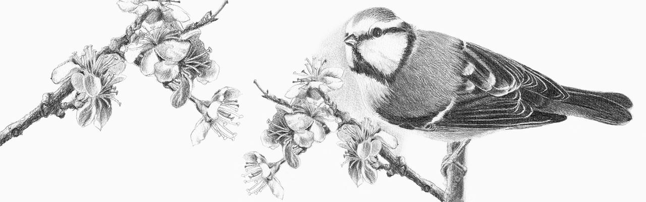 Realistic artwork of a tit by Gisela Zigawe-Schmitt